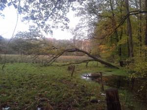 Schotse Hooglanders in het Maatlandenbos